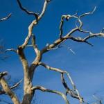 Tree dies from building work