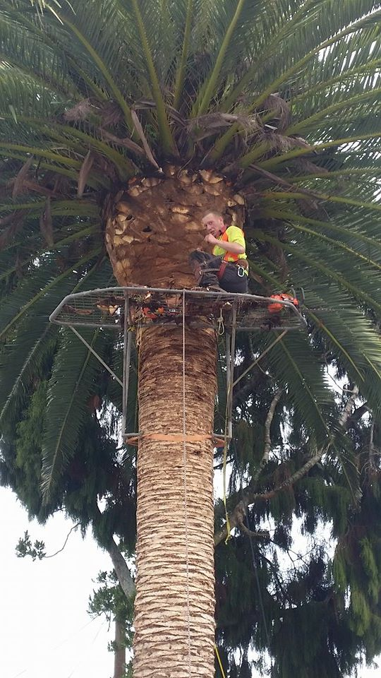 palm trimming removal Whangarei, Dargaville and Bay of Islands